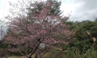 高江の寒緋桜