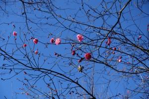 〈元日は雲1つなく晴れ渡っていた。散歩した多摩丘陵の一角に咲いていた梅の花〉